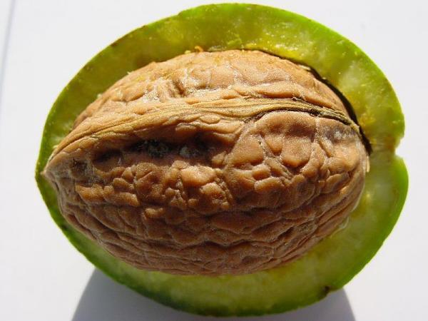 Грецкий орех: целебные свойства